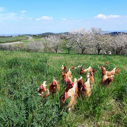 gallo e galline fattoria san donato